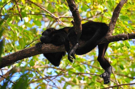 Hotel Sugar Beach: Howler Monkey in tree outside room