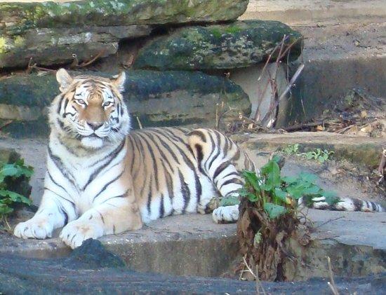 Antwerp Zoo (Dierentuin): kleine tijger 1