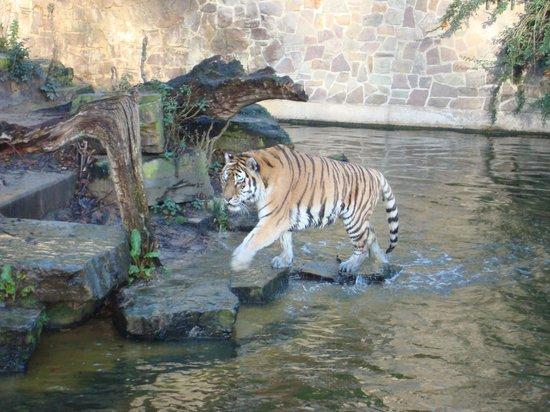 Antwerp Zoo (Dierentuin): grote tijger