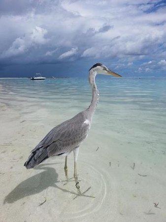 Alimatha Island: malediwy moj gosc zurawik