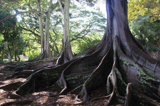 Allerton Garden: Moreton Bay Fig Trees--as seen in the 1st Jurassic Park movie!