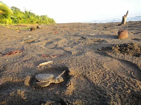 Laguna Lodge Tortuguero : Sea Turtle Heading to the Water