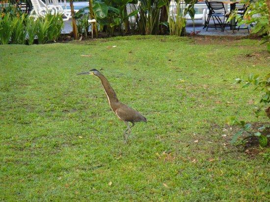 Laguna Lodge Tortuguero : Large Bird on the Grounds
