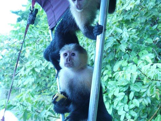 Barefoot Panama: Monkey Time