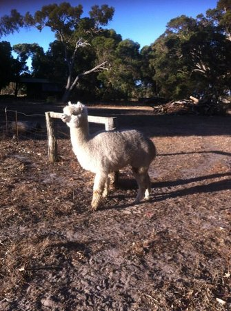 Dunsborough Rail Carriages & Farm Cottages : Llama on property