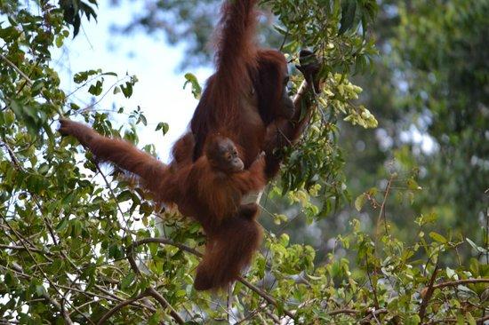 Palangkaraya, Indonesia: Orangutan