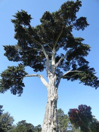 San Francisco Botanical Garden: me apaixonei por essa árvore altíssima