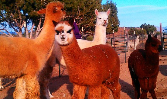 Alpacas of the Southwest