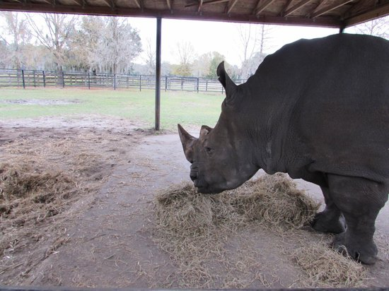 White Oak Conservation Center: The bull rhino we pet.