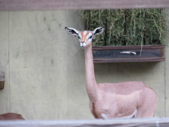 White Oak Conservation Center: Gerenuk.