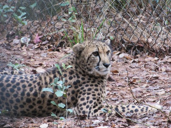 White Oak Conservation Center: Cheetah that we got to pet.