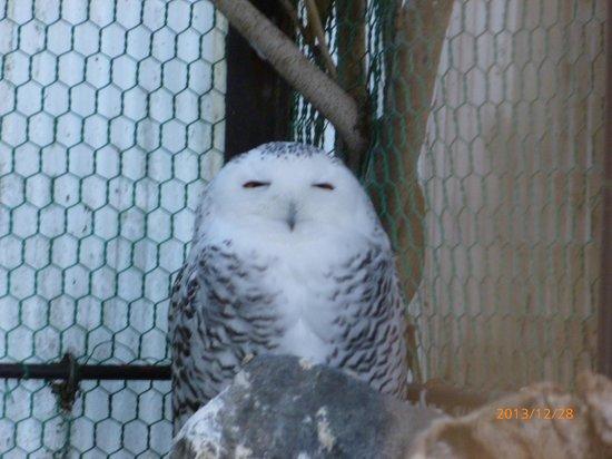 Tokuyama Zoo: シロフクロウ、笑ってる?