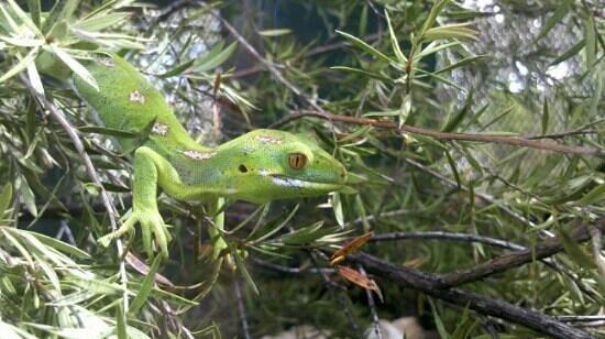 gumdiggers park gecko
