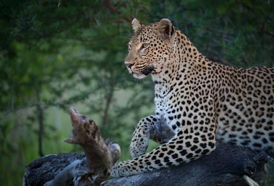 Londolozi Tree Camp: Londolozi Leopard
