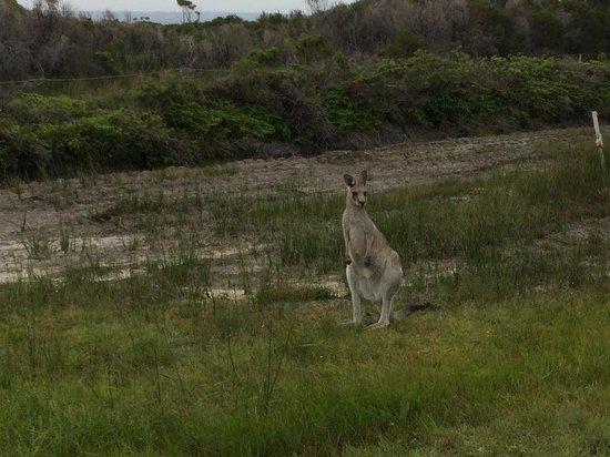 Jervis Bay National Park : Obliging 'Roo