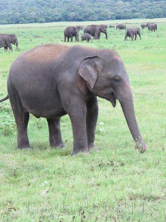 Kaudulla National Park : Kaudulla Park elephant