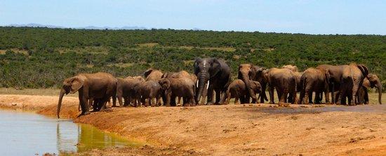 Chrislin African Lodge: Addo National Park elephants