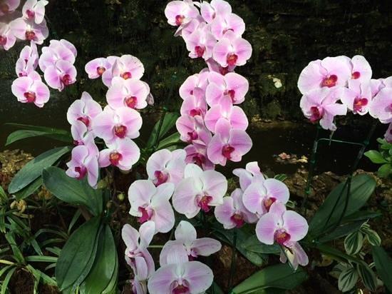 Royal Park Rajapruek: mooi getinte orchidee