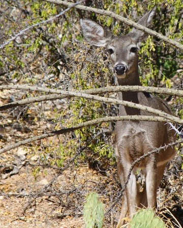 Sabino Canyon: We hiked down near stop 9 and saw a group of deer. This one was not too afraid of us and allowed
