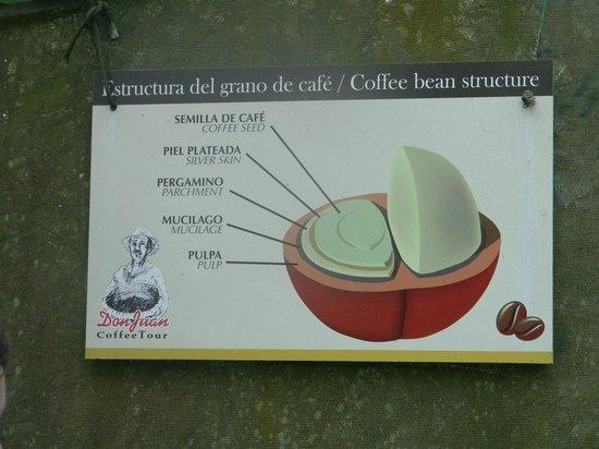 Café Monteverde Coffee Tour : semilla de café