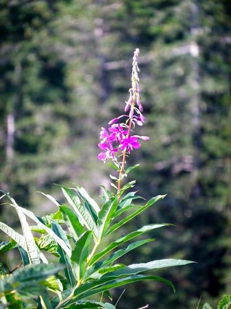 Mount Roberts trail, fireweed