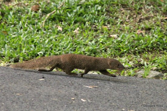 Renaissance St. Croix Carambola Beach Resort & Spa: Mongoose on the move