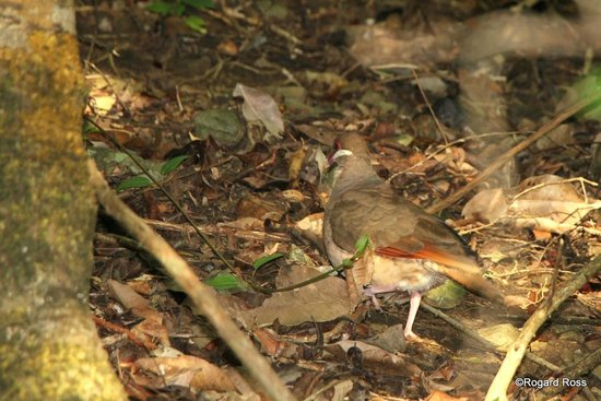 Renaissance St. Croix Carambola Beach Resort & Spa: Bridled Quail Dove along Tidal Pools Trail