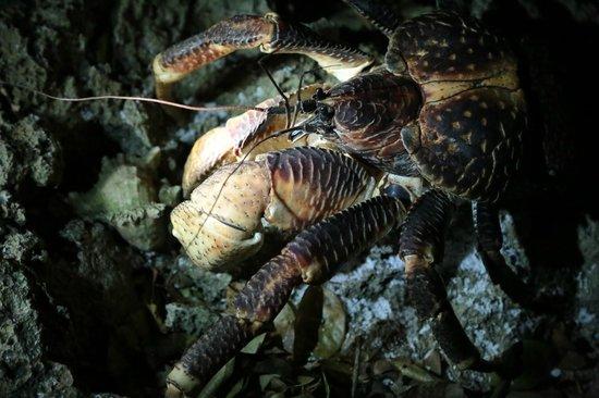 Chumbe Island Coral Park : Coconut crab (Birgus latro)