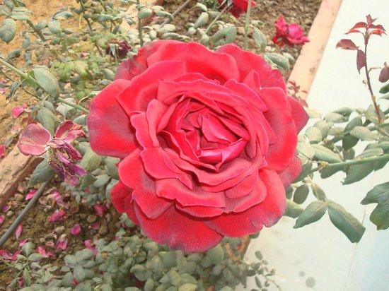 Tiger Den Resort: Rose plantations around the reception area