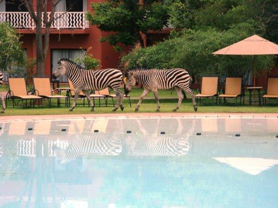 AVANI Victoria Falls Resort: zebra at dawn