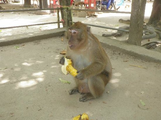Orchidacea Resort: Monkeys in the National Park.