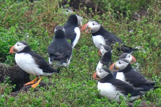 Captain Blackmore's Heritage Manor: finally the puffins