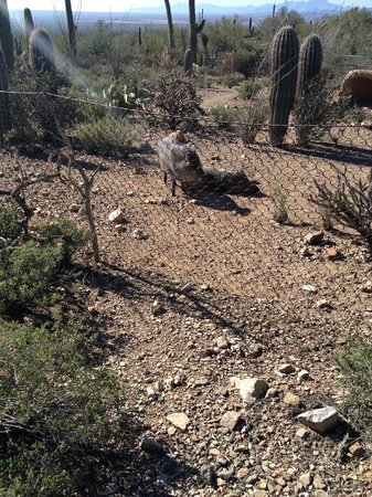 Arizona-Sonora Desert Museum: Javelina at the museum