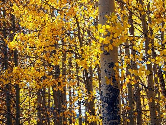 Guanella Pass : Aspen Trees in Fall