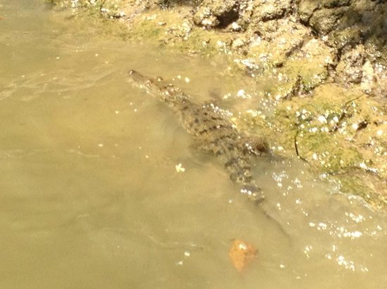 Bocawina Rainforest Resort & Adventures: Crocodile on Riverboat cruise