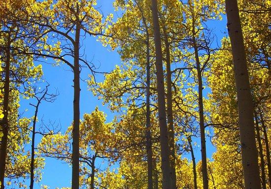 Guanella Pass : Aspen Trees