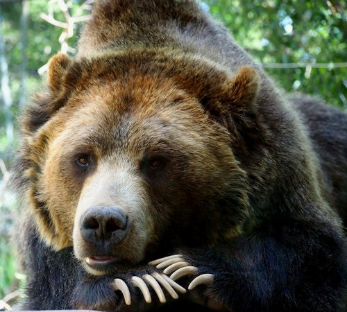 Cheyenne Mountain Zoo: Grizzley Bear at rest