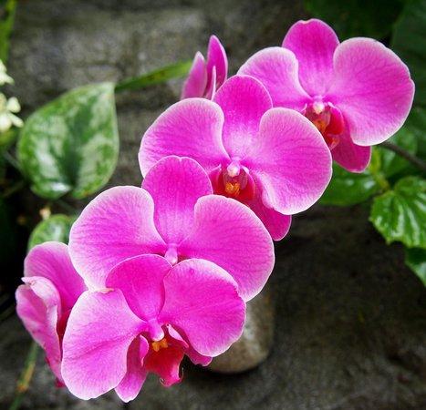 Denver Botanic Gardens: Pink Orchids
