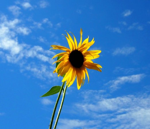 Denver Botanic Gardens: Sunflowers and Summer Skies