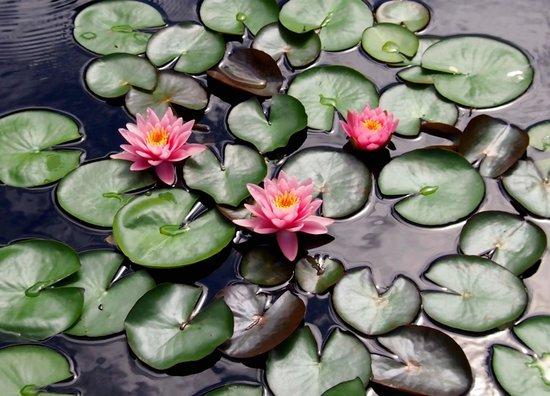 Denver Botanic Gardens: Water Lillys