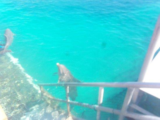 Dolphin Discovery Cozumel : LOS DELFINES