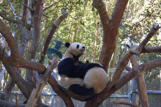San Diego Zoo : Giant Panda