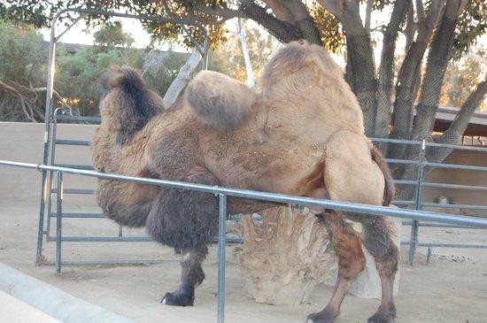 San Diego Zoo : Two Hump Camel