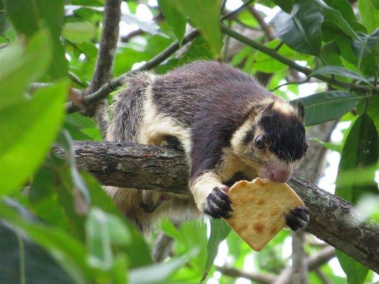 Madu River: Jungle squirrel at temple