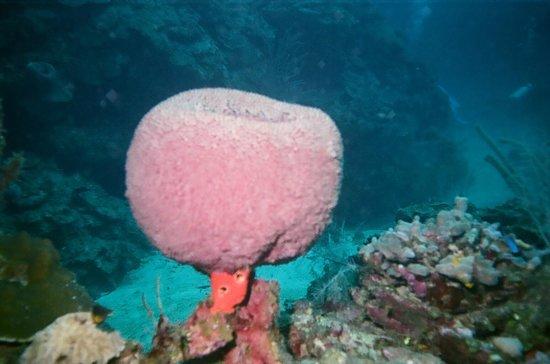 Roatan Institute for Marine Sciences - Anthony's Key Resort: Big Sponge (on a stick!)