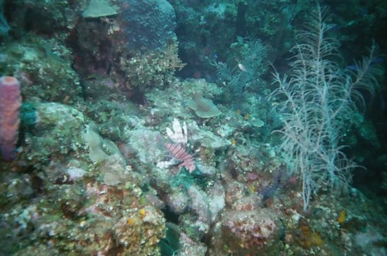 Roatan Institute for Marine Sciences - Anthony's Key Resort: One of many Lion Fish