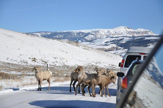 National Elk Refuge: Big Horns from the Car