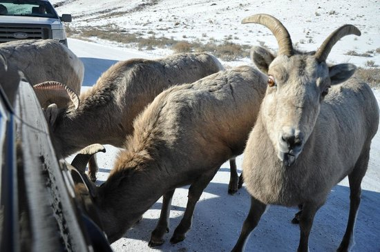 National Elk Refuge: Bighorn Sheep