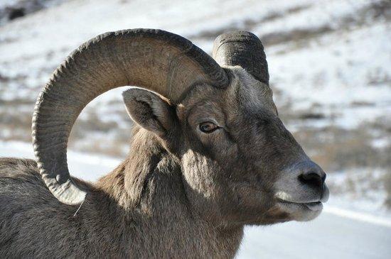 National Elk Refuge: The Old Man