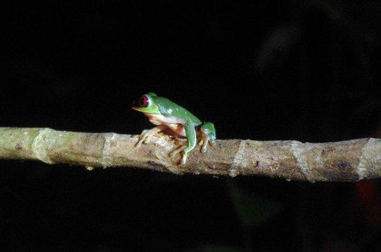 Drake Bay, Costa Rica: Gladiator frog?
